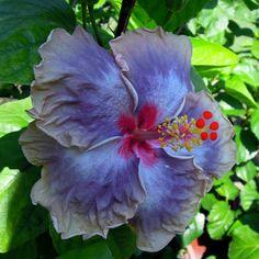 Taiwan Purple Swirl Hibiscus Garden, Hibiscus Plant, Hibiscus Flowers, Tropical Flowers, Unusual Flowers, Rare Flowers, Types Of Flowers, Beautiful Flowers, Ornamental Cabbage