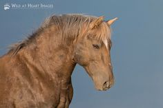 Bolder, son of Cloud….One of the most beautiful stallions we saw during our visit to Pryor Mountain, was Bolder, the 14-year-old son of Cloud