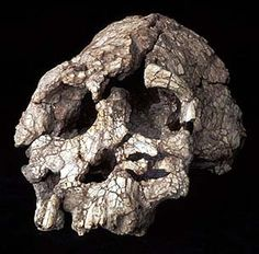 Well, it COULD be! Kenyanthropus platyops, million year old, found in Kenya, 1999 Prehistoric Man, Anthropologie, Human Evolution, Prehistory, Ancient Artifacts, Skull And Bones, Science And Nature, Ancient History, Archaeology