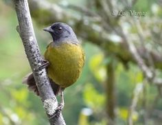 The large-footed finch, (Pezopetes capitalis), is a passerine bird which is endemic to the highlands of Costa Rica and western Panama. Despite its name, it is not a true finch, but rather a member of the large Emberizidae family, which also includes buntings, American sparrows, juncos and towhees.