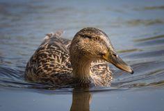 Duck - Duck-Portrait