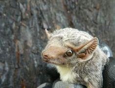 Mauritian tomb bat (Taphozous mauritianus) photographed at Bateleur.Courtesy Julio and Erna Balona: Gauteng and Limpopo Bat Interest Group