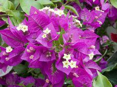 Sur les façades dans le sud, ou en pot dans les vérandas, cet arbuste grimpant, aux bractées rouges, roses ou dorées selon les variétés, vous offre une belle...