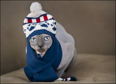 Baci in his winter wear. Shot this for the 'new things' photo challenge on Pets.ca #cats #pets http://www.pets.ca/forum/showthread.php?t=83166