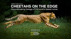 -Winner of the 2013 National Magazine Awards for best Multimedia piece of the year-  Cheetahs are the fastest runners on the planet. Combining the resources of National Geographic Magazine and the Cincinnati Zoo, and drawing on the skills of an incredible crew, we documented these amazing cats in a way that's never been done before.  Using a Phantom camera filming at 1200 frames per second while zooming beside a sprinting cheetah, the team captured every nuance of the cat's movement as it...