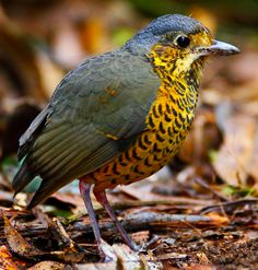 Undulated Antpitta at a Peruvian reserve.