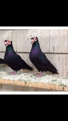 Egyptian pigeons Pigeon Pictures, Bird Pictures, Racing Pigeon Lofts, Pigeon Breeds, Homing Pigeons, Dove Pigeon, Birds 2, Farm Gardens, Beautiful Birds