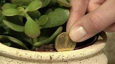 Essa planta atrai o dinheiro como um imã e você deveria ter ela em sua casa! #Casaejardim