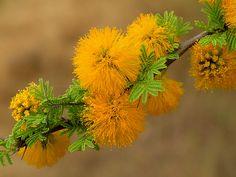 Flores de Acacia caven - Espino