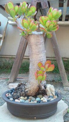 Jade bonsai