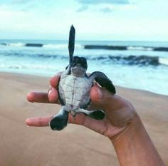 Hands up if your a cutie! Baby turtles are the best Baby Animals Pictures, Cute Animal Pictures, Animals And Pets, Baby Sea Turtles, Cute Turtles, Save The Sea Turtles, Cute Little Animals, Cute Funny Animals, Cute Puppies