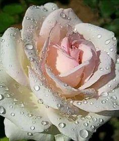Petitecoat Roses