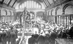 1280px-Large_holland_diplodocus.jpg (1280×787) - Présentation de la première réplique de Diplodocus carnegii, Natural History Museum, London, 1905. Dinosauria, Saurischia, Sauropoda, Diplodocoidea, Diplodocidae.