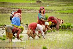Busy month: Rice farmers take to the fields at the start of monsoon season in Kathmandu, Nepal Paddy. Nepal Culture, India Culture, Nepal People, Monsoon Rain, Rice Paddy, Village Photography, Art Village, Weather News, Farm Hero Saga