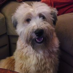 Roger the wheaten terrier....he looks a lot like how my Jack looked. Next dog will be a wheaten.