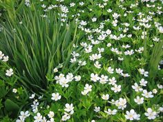 Anemone canadensis (Canadian anemonie)