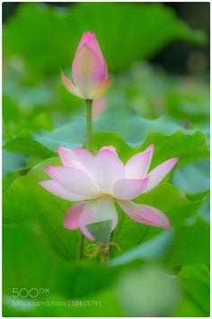 Lotus by hz6229. @go4fotos