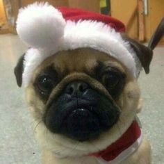 Christmas Pug pictures are coming!
