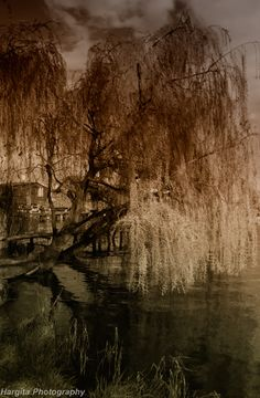 Weeping Willow my favorite tree.  Reminds me of someone grieving & with it's drooping branches offering protection