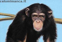 Amici Cucciolotti 2017: Fronte Figurina n. 68 Scimpanzé