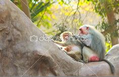 Baboon Monkey chilling in the zoo — Stock Photo © BAphotography #53542559 #Photography #StockPhotography #Art #portfolio #Portrait #Pharaoh #Lightplay #Landscape #IslamicArt #Nature #Chess #Pets #FigurePhotogrpahy #ProductPhotography #NightLife #Abstract #Sea #Ocean #Coffee #Africa #Egypt #Oriental #Vacation #Sky #Toys #Historic #Landmark #Calligraphy #Monkey #desert #Sunset #Background #Oud #Arabian #Minions #Christmas #NewYear2015 #Card #Christmas_Card