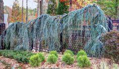 Blue atlas cedar on fence