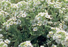 Com forte perfume de mel, a alisso gosta de pleno sol em clima frio e meia-sombra, em locais mais quentes. Floresce no verão. É usada em forrações ou maciços