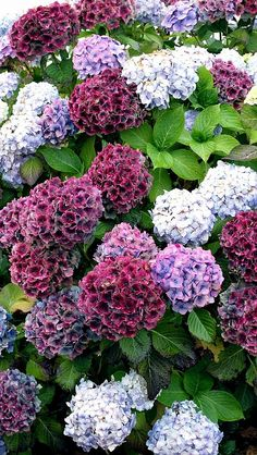 Hydrangeas - lovely mix of shades Hortensia Hydrangea, Hydrangea Bush, Hydrangea Care, Hydrangea Flower, Shade Garden, Garden Plants, Amazing Flowers, Beautiful Flowers, Dream Garden