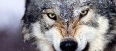 Torino, è allarme lupi: sono arrivati alle porte della città