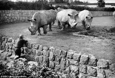 Vagner with Sudan and other rhinos at Dvur Karlove Zoo, former Czechoslovakia in the 1970s