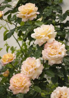 Portal Cool Seeds Pink Bare Rooted Free Delivery Climbing Rose Kathleen Harrop Scented Light