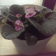 NOID African Violet bought in NYC, shipped from a Canadian greenhouse. White, ruffled edges. Semi-double blooms with raspberry pink thumb prints. This is actually two plants and will be repotted.