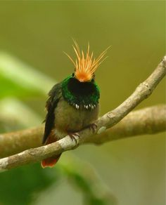 Bill Thompson III, editor of Bird Watcher's Digest magazine captured a stunning image of this Rufous-crested Coquette (a very unique hummingbird) while in Panama Pretty Birds, Love Birds, Beautiful Birds, Animals Beautiful, Small Birds, Little Birds, Colorful Birds, Kinds Of Birds, Exotic Birds