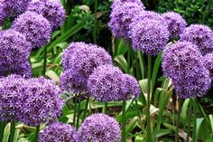 Ornamental Lily, Allium - Plants, care, propagation and wintering Garden Chic, Flower Landscape, Plants, Cottage Garden, Bulbous Plants, Urban Garden, City Garden, Balcony Plants, Modern Garden