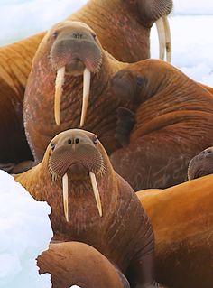 http://www.pixoto.com/trawlercap  Summer studies of walrus by Capt. Jack Molan