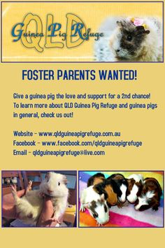 Qld Guinea Pig Rescue in Deception Bay, Queensland 4508 is looking for FOSTERS!  Email: qldguineapigrefuge@live.com  A not for profit organisation dedicated to helping mistreated, abused and no longer wanted guinea pigs in need. FB link: https://www.facebook.com/photo.php?fbid=263616740488206&set=p.263616740488206&type=1&theater ADOPTABLE piggys: https://www.facebook.com/qldguineapigrefuge/app_208195102528120 Website: http://www.qldguineapigrefuge.com.au