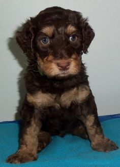 this is gorgeous.....only next to Chester arborgate-labradoodles