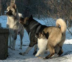 Akita's. Will have a male after I get the german shep