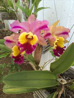 Two tone orchid