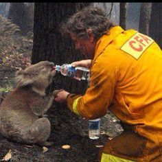 Just one of the many animal victims of the 2009 Victorian Bush fires, Sam was saved by volunteer fire fighter David Tree, pictured here giving her a much needed drink of water.