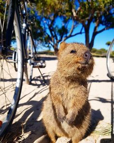 Take a moment to picture the cutest animal you've ever seen. Now, multiply its cuteness factor by about 17 trillion, and you've got the quokka. Rare Animals, Happy Animals, Animals And Pets, Strange Animals, Wild Animals, Quokka Animal, Australia Animals, Pet Rats, Animals Of The World