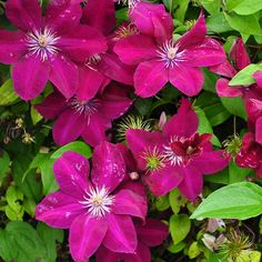 Clematis 'Remembrance' (Large Plant). 2.5m sun or semi shade