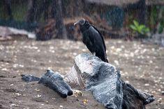 La photo du 10 octobre 2021 du site unoeilsurlaterre.com Costa Rica, Photos Du, Bald Eagle, Animals, October 10, Animales, Animaux, Animal, Animais