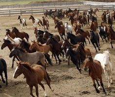Wild horses corralled at the Stewart Conservation Camp in Carson City, Nevada, USA. Photo by John Locher/Las Vegas Review-Journal/AP