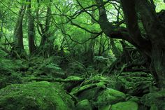 World Heritage, Kagoshima Prefecture Yakushima 世界遺産 鹿児島県 屋久島 (1200×801)