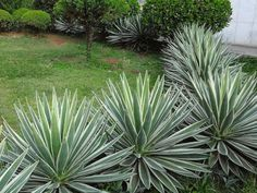 Agave angustifolia 'Marginata' (Variegated Caribbean Agave) is an evergreen, succulent plant up to 4 feet m) tall and wide, with a. Tropical Garden, Garden Design, Florida Landscaping, Plants, Front Yard Garden Design, Easy Garden Ideas Landscaping, Yucca Plant, Landscape, Planting Succulents