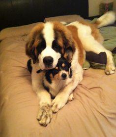 Our 6 month old st. Bernard an 9 month old welsh corgi :)