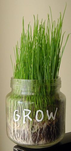 Cat grass grown in baby food jars. Lots of decoration possibilities if you add writing with a paint marker. Art Projects for Kids .Org #recycle