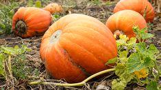 Vanaf september tot eind oktober, en vaak begin november, kun je pompoenen oogsten. Ze symboliseren Halloween, maar zijn voor hobbytuiniers natuurlijk meer dan een sierobject. Je vindt tegenwoordig heel veel variëteiten die een aparte smaak bezitten, en zo ontzettend lekker zijn in diverse gerechten, dat de bereidingsmogelijkheden eindeloos zijn. Pompoenen oogst je voor de allereerste…