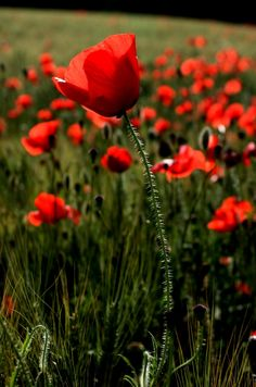 Field of poppies, looks so awemazing. ^.^
